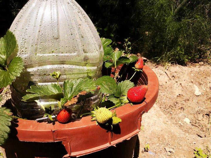 Imagen de una maceta con fresas